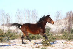 Beautiful brown horse running free. In winter Royalty Free Stock Photo
