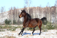 Beautiful brown horse running free Stock Image