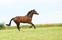 Beautiful brown horse running in freedom Royalty Free Stock Images