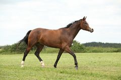 Beautiful brown horse running in freedom Stock Photos