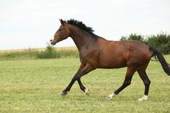 Beautiful brown horse running in freedom Stock Photo
