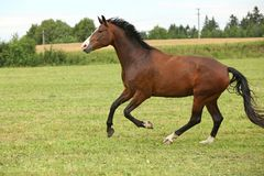 Beautiful brown horse running in freedom Royalty Free Stock Photo