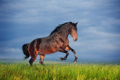 Beautiful brown horse running gallop Stock Photos