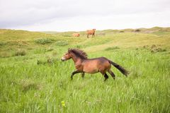 One wild horse running on the dutch island of texel stock photography