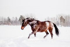 Beautiful brown horse running in the snow stock images