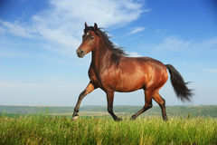 Beautiful brown horse running trot Stock Photos