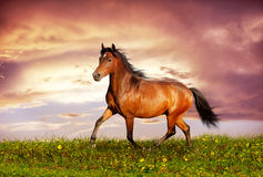 Beautiful brown horse running trot Stock Images
