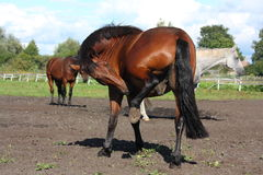 Beautiful brown horse scratching itself Stock Images