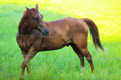 Beautiful Brown Horse Stance. Brown showing a playful stance Royalty Free Stock Images