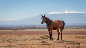 Horse stands in the field, on a background of beautiful mountains stock photos