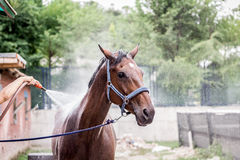 Beautiful brown horse taking a bath. Of body stock images