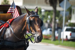 Beautiful brown horse used to take tourists around St.Augustine, Florida. A beautiful brown horse with an American flag used take tourists around downtown Saint stock photography