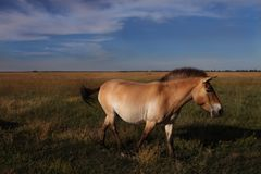 Beautiful brown horse walking in the wild royalty free stock photos