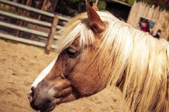 Beautiful brown horse with white mane. Beautiful brown horse with white arrow and mane Royalty Free Stock Photography