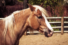 Beautiful brown horse with white mane. Beautiful brown horse with white arrow and mane Royalty Free Stock Images