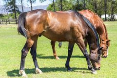 Beautiful brown horses eating grass royalty free stock photo