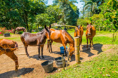 Beautiful brown horses in a farm Stock Image