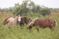 Beautiful brown horses in the green meadow Stock Photo
