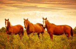 Beautiful brown horses in the green meadow during nice sunset sky.  Stock Photos