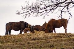 Beautiful brown horses. Brown horses in the polish farm Royalty Free Stock Photos