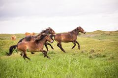 Three wild horses running on the dutch island of texel royalty free stock photo