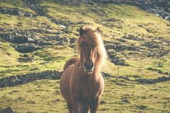 Brown icelandic horse standing on grassland in Faroe Islands. Beautiful, brown icelandic horse standing on grassland in Faeroe Island in summer time stock photo