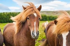 Beautiful brown icelandic horses in nature. Stock Image