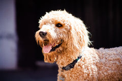 Beautiful brown labradoodle dog with a black background. Royalty Free Stock Photography