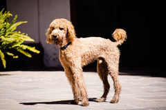 Beautiful brown labradoodle dog standing in a traditional spanis Royalty Free Stock Images