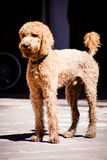 Beautiful brown labradoodle dog standing in a traditional spanis Stock Image