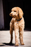 Beautiful brown labradoodle dog standing in a traditional spanis Royalty Free Stock Photography