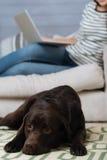 Beautiful brown Labrador looking sad Stock Image