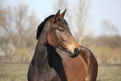 Beautiful brown latvian horse portrait Stock Image