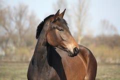 Beautiful brown latvian horse portrait Stock Image