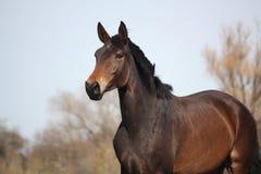 Beautiful brown latvian horse portrait Stock Photo