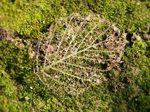 Brown leaf skeleton in spring, Lithuania Stock Images