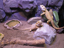 Beautiful brown lizard family Stock Photo