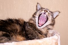 Beautiful brown maine-coon cat funny yawns. Clouse-up. Beautiful brown maine-coon cat funny yawns stock photo