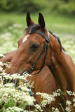Beautiful brown mare with bridle Stock Image