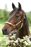 Beautiful brown mare with halter Royalty Free Stock Photos