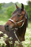 Beautiful brown mare with halter Stock Images