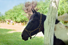 Beautiful brown mare Royalty Free Stock Image