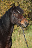 Beautiful brown mare with rope halter in autumn