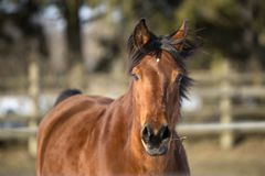 Beautiful brown mare running in winter Royalty Free Stock Photo