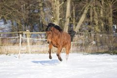Beautiful brown mare running in winter Stock Photo