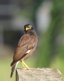 Beautiful brown mayna looking towards camera Royalty Free Stock Images