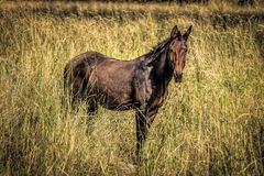 Large brown mule in grassy field. Stock Photo