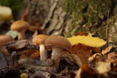 Beautiful brown mushrooms in the autumn forest royalty free stock photo