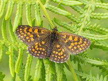 Beautiful brown orange butterfly Stock Photo