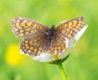 Beautiful brown orange butterflys Stock Images
